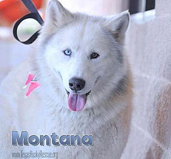 Siberian Husky Dog for adoption in Carrollton, Texas - Montana--Coming soon!
