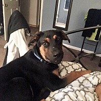 Rottweiler Mix Puppy for adoption in White Hall, Arkansas - Raffie