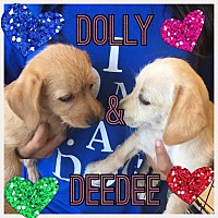 Adopt A Pet :: Dolly - Brownsville, TX