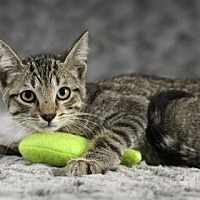 Domestic Shorthair Cat for adoption in Gainesville, Florida - Pink