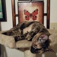 Domestic Shorthair/Domestic Shorthair Mix Cat for adoption in Newburgh, Indiana - Hope