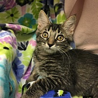 Adopt A Pet :: Kittens-Kittens - Foothill Ranch, CA