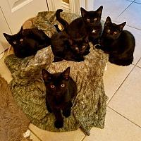 Adopt A Pet :: Black Beauty Kittens - Salem, NH