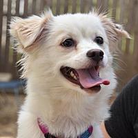 Adopt A Pet :: Belle - Philadelphia, PA