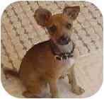 Miniature Pinscher Mix Dog for adoption in Greensboro, North Carolina - Peanut