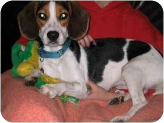 Beagle Puppy for adoption in Portland, Oregon - Emma