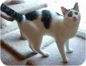 Domestic Shorthair Cat for adoption in Colmar, Pennsylvania - Snoopy