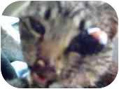 American Shorthair Cat for adoption in Hillsboro, Ohio - 1 Eyed Jack