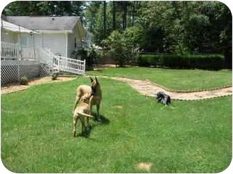 Boxer/Labrador Retriever Mix Puppy for adoption in Ridgeville, South Carolina - Dare