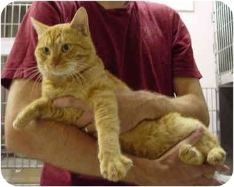 Domestic Shorthair Cat for adoption in Clifton, New Jersey - FELIX