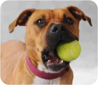 Boxer/American Pit Bull Terrier Mix Dog for adoption in Chicago, Illinois - Mia