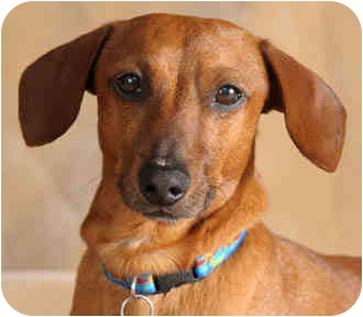 Dachshund Dog for adoption in Chicago, Illinois - Buster the Doxie