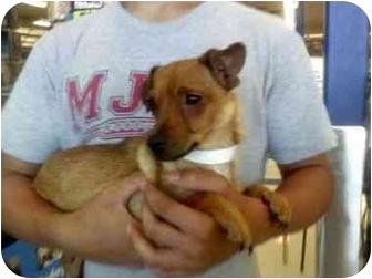 Dachshund/Chihuahua Mix Dog for adoption in Las Vegas, Nevada - VIVIAN