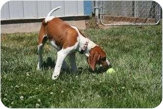 Treeing Walker Coonhound Mix Puppy for adoption in Meridian, Idaho - Sammi