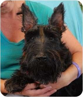 Scottie, Scottish Terrier Dog for adoption in Las Vegas, Nevada - Mr. Oliver