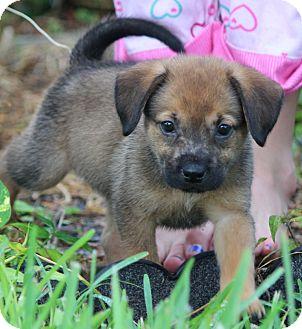 Labrador Retriever/German Shepherd Dog Mix Puppy for adoption in Largo, Florida - BING