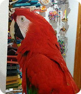 Macaw for adoption in Hubertus, Wisconsin - Ruthie