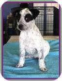 Australian Cattle Dog/Beagle Mix Puppy for adoption in Staunton, Virginia - Rainy