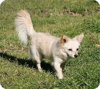 Papillon Mix Dog for adoption in Lufkin, Texas - Monty