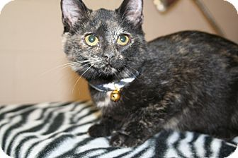 Domestic Shorthair Kitten for adoption in Plainfield, Connecticut - Sally Brown