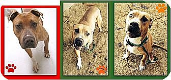 Labrador Retriever/American Bulldog Mix Dog for adoption in Littleton, Colorado - BRAD