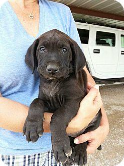 Labrador Retriever/Plott Hound Mix Puppy for adoption in Wichita Falls, Texas - Conner