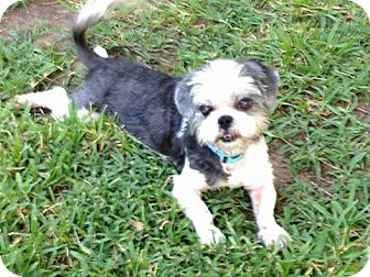 Maltese Mix Dog for adoption in Stephenville, Texas - Cleo