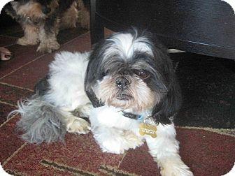 Shih Tzu Dog for adoption in Playa Del Rey, California - Usher