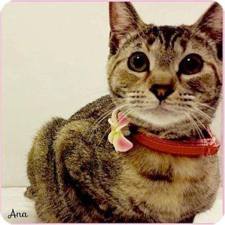 Domestic Shorthair Cat for adoption in Arlington/Ft Worth, Texas - Ana