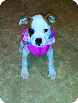 Pit Bull Terrier Mix Puppy for adoption in Lexington, Kentucky - Deja