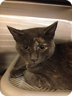 Domestic Shorthair Cat for adoption in Chicago, Illinois - Light Foot