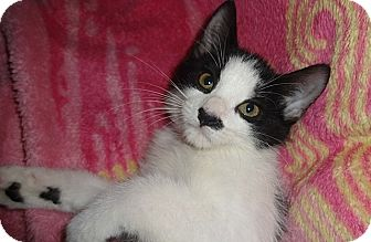 Domestic Shorthair Kitten for adoption in Tampa, Florida - Panda