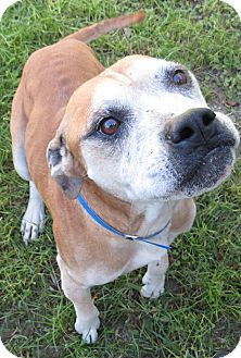Boxer Mix Dog for adoption in Georgetown, South Carolina - Congree
