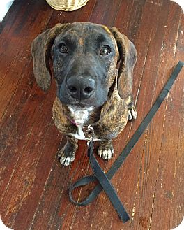 Plott Hound Mix Dog for adoption in Baltimore, Maryland - Cambree