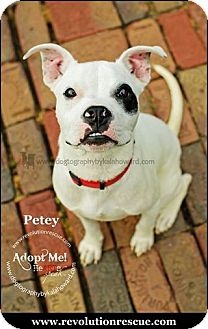 Boxer Mix Puppy for adoption in Lincoln, Nebraska - Petey