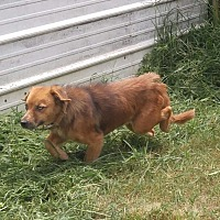 Australian Shepherd/Dachshund Mix Dog for adoption in Columbia, Kentucky - Athena