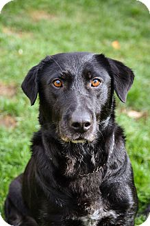Labrador Retriever/Hound (Unknown Type) Mix Dog for adoption in Mount Holly, New Jersey - Bernie
