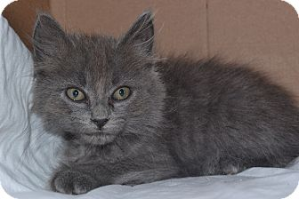 Domestic Mediumhair Kitten for adoption in Beaumont, Texas - Rizzo