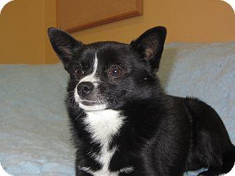 Pomeranian/Chihuahua Mix Dog for adoption in Ridgway, Colorado - Benny