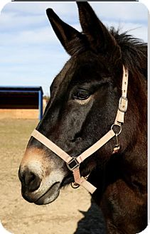 Donkey/Mule/Burro/Hinny for adoption in Laurel, Delaware - Beckett