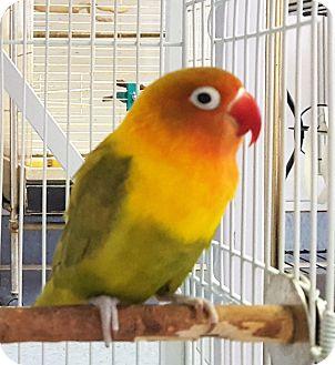 Lovebird for adoption in Grandview, Missouri - Dewey