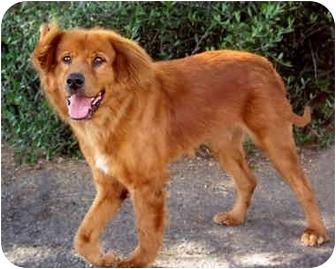 Golden Retriever/Australian Shepherd Mix Dog for adoption in Marina del Rey, California - Troy