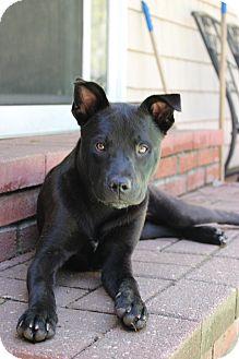 Labrador Retriever Mix Puppy for adoption in Sagaponack, New York - Natalie