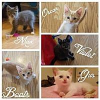 Siamese Kitten for adoption in Crestview, Florida - Gus