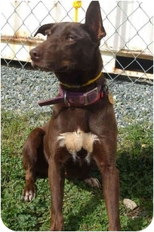 Australian Kelpie Mix Dog for adoption in Auburn, California - Izzy