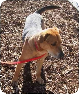 Beagle/Shepherd (Unknown Type) Mix Dog for adoption in Marion, North Carolina - Rocky