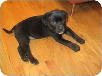 Labrador Retriever/Shepherd (Unknown Type) Mix Puppy for adoption in Houston, Texas - Willy