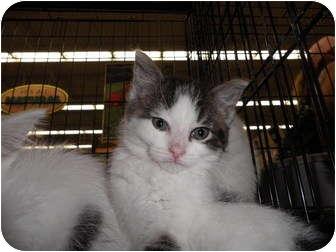 Domestic Shorthair Kitten for adoption in Warren, Michigan - Cadence