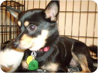 Chihuahua Mix Dog for adoption in Umatilla, Florida - Todd