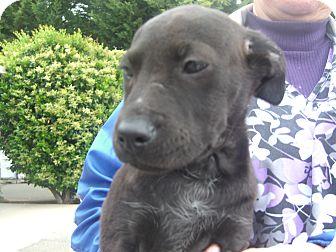 Border Collie/Australian Kelpie Mix Puppy for adoption in Kelseyville, California - Buster